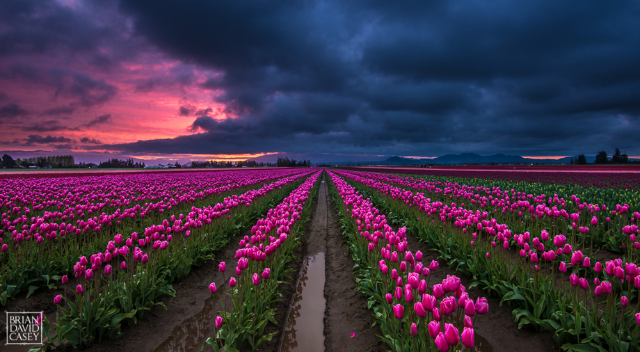 Brian David Casey Pink Tulips Sunrise