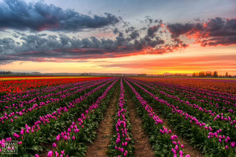 Purple Tulip Field