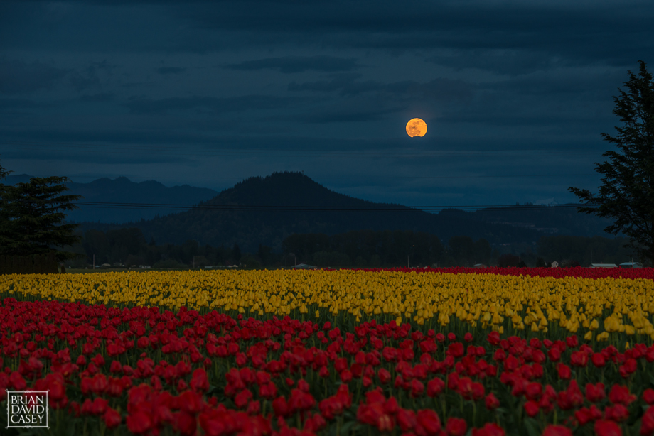 Brian David Casey Tulips And Moon