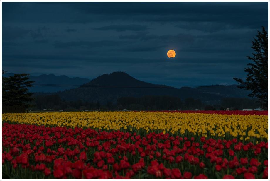 seattle-tulips-moon